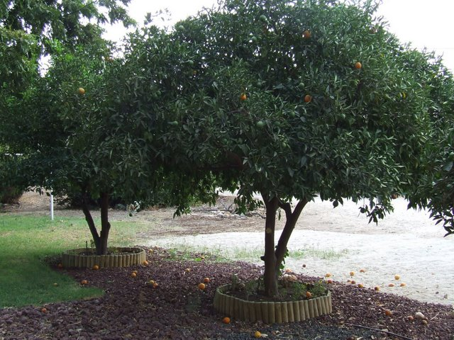 טוף אוברסייז אדום כחיפוי קרקע בבוסתן, בשילוב עם שטח חניה מחופה בחצץ