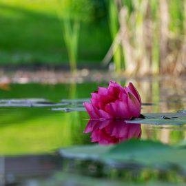 אודות צמחי המים בבריכות הנוי