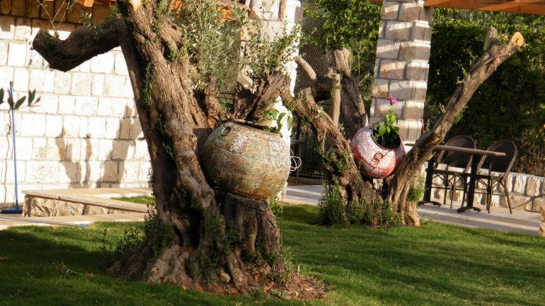 עצי זית בגינה