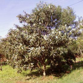 טיפול נכון בעצי שסק