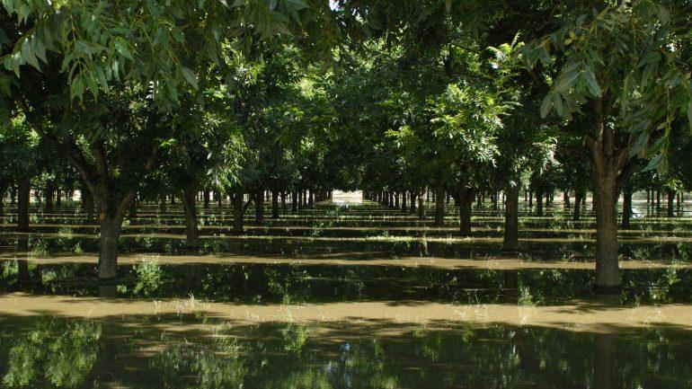 טיפול נכון בעצי פקאן
